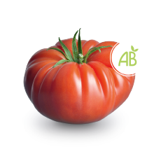 Tomate culture biologique